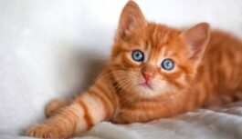 Kāpēc kaķiem jāguļ blakus saimniekiem